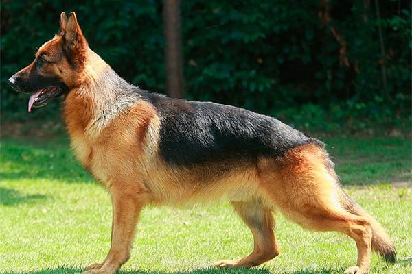 un estudio muestra evidencias de continuidad en el genoma de los perros europeos desde el neolitico