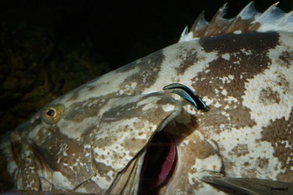 la conducta de los peces limpiadores se altera con el ruido de los barcos