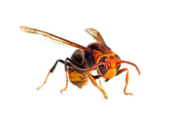 anecpla alerta de que la avispa asiatica es cada vez mas peligrosa