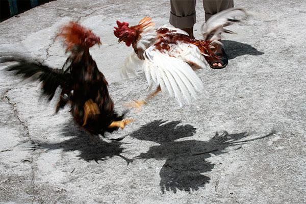 canarias da el primer paso para acabar con las peleas de gallos