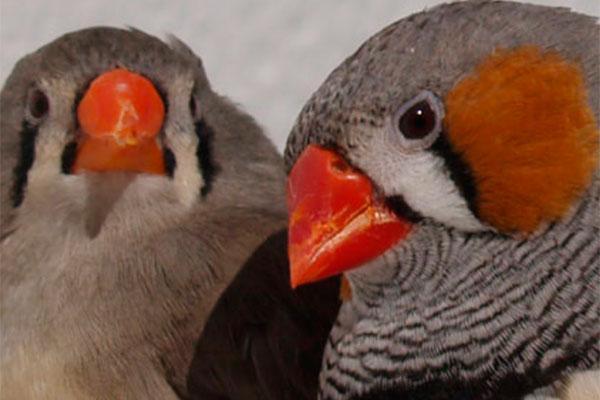 la coenzima q10 potencia la tonalidad roja de los ornamentos de las aves