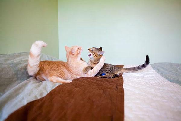 por que tus gatos pueden no llevarse bien entre ellos