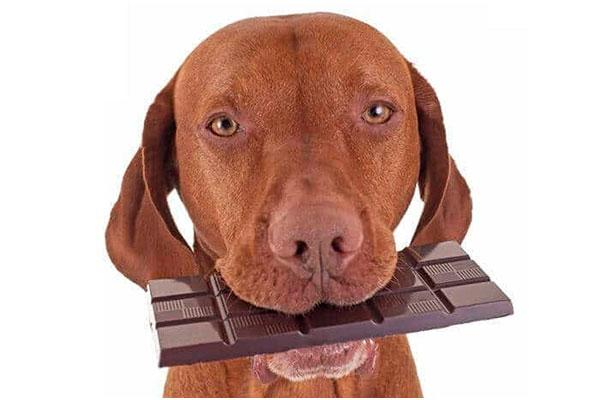 el riesgo de que tu perro se intoxique por chocolate se cuadriplica en navidad
