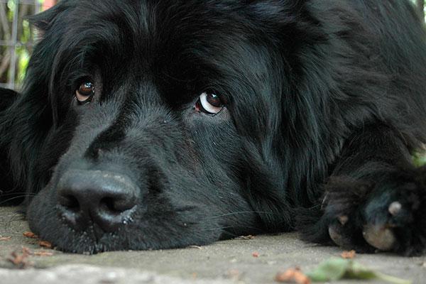 linfoma-en-perros-y-repercusion-clinica-de-la-proteinuria