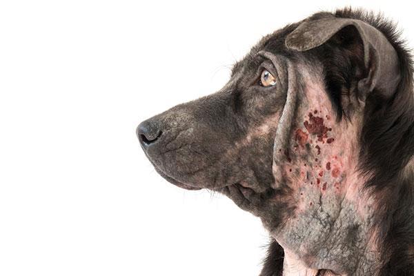 el futuro de la inmunoterapia en la dermatitis atpica canina