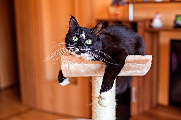 metimazol transdermico para tratar el hipertiroidismo en gatos