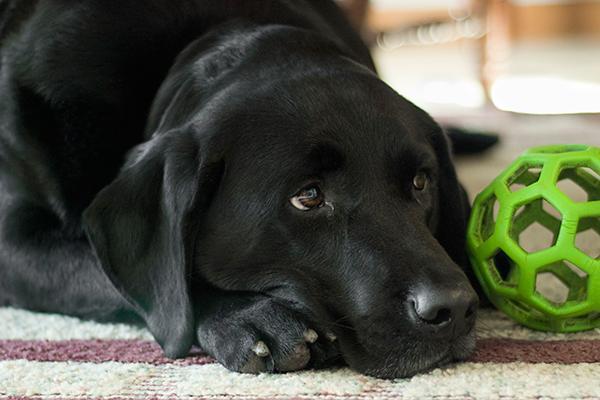 manejo terapeutico de la gastritis en perros