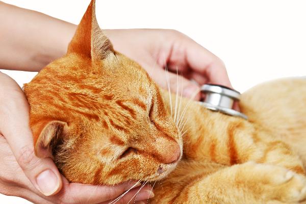 analgesia postquirurgica en felinos