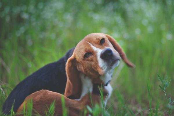 estudio preliminar de campo sobre el uso de sarolaner oral simparica en el tratamiento y control de la infestacion por pulgas en perros