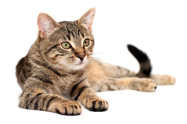 diagnstico y tratamiento en un caso de pododermatitis plasmocitaria felina