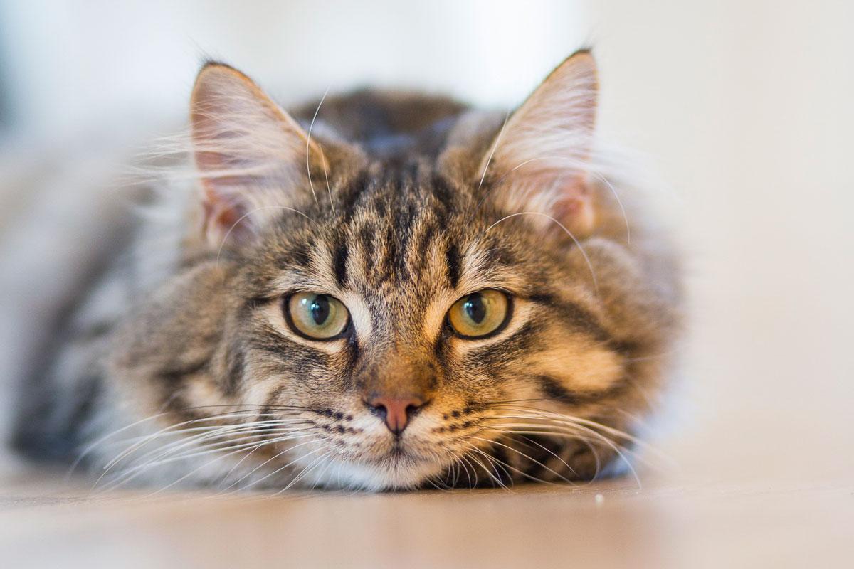 los gatos pueden sufrir hipertensin arterial