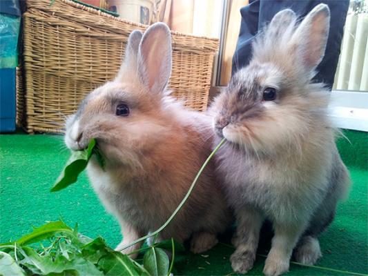 el conejo la mascota que maacutes visita las cliacutenicas por detraacutes de perros y gatos