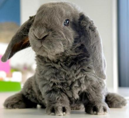 Cunipic logra conejos Belier con pelo rex merino
