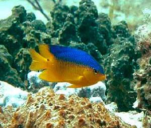el pez damisela grita en busca de socorro