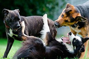 la dominancia en un grupo de perros expresada en cifras
