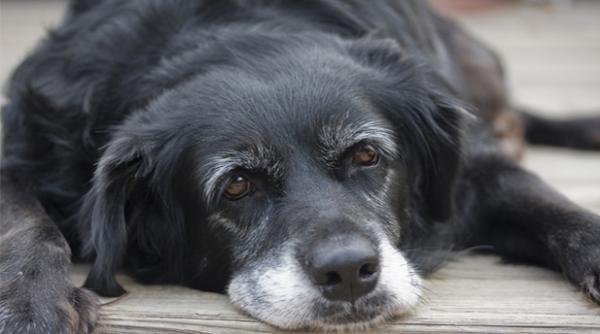 estudian un faacutermaco que combate el envejecimiento en perros