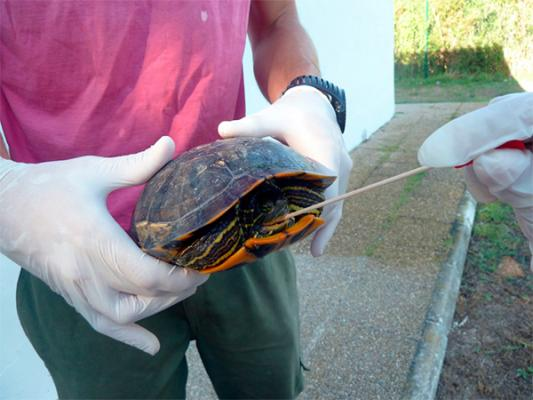 un estudio de la ceuuch detecta salmonella en el 30 de tortugas mascota de valencia