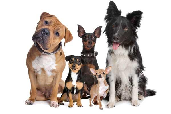 un estudio revela el aacuterbol genealoacutegico de los perros