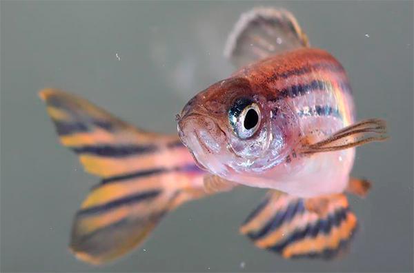 hallan nuevas formas de plasticidad sexual en los peces