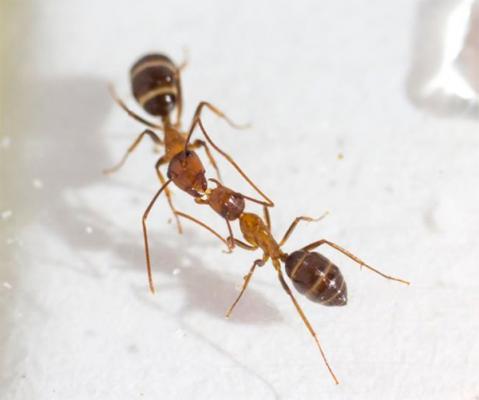 las hormigas se comunican a traveacutes del intercambio oral de fluidos