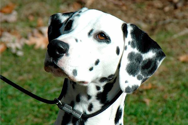 importante descubrimiento del sdra en los genes de los perros daacutelmatas