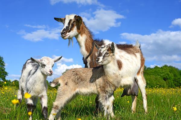 los lentivirus no afectan a todos los animales de un rebantildeo por igual