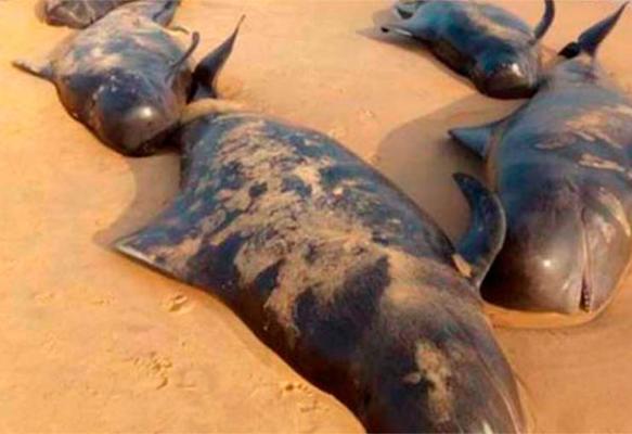 maacutes de 100 ballenas varadas quedan atrapadas en la costa de la india