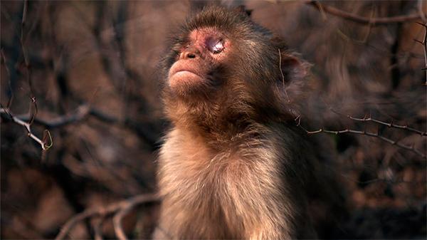 national geographic wild estrena en espantildea la peliacutecula documental quotel mono ciegoquot