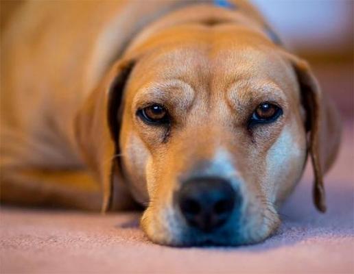 nueva publicacioacuten confirma la eficacia de impromune para tratar la leishmaniosis canina