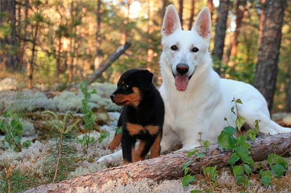 el paso de cachorro a adulto lleva a los perros a cambiar su reaccioacuten ante la voz humana