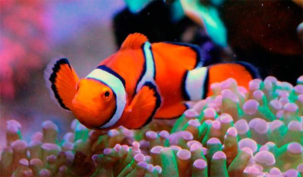 sacan a la luz la maquinaria geneacutetica que utiliza el pez payaso al cambiar de sexo