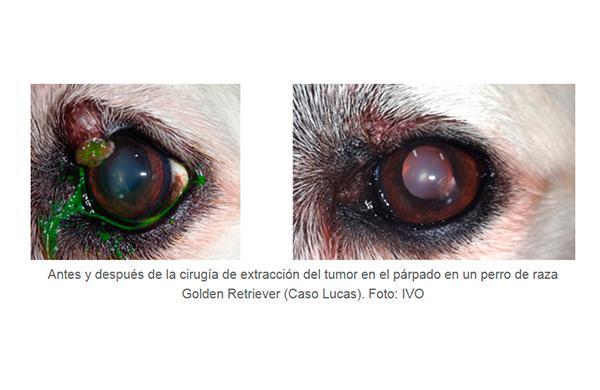 los tumores palpebrales en perros queacute y coacutemo se curan