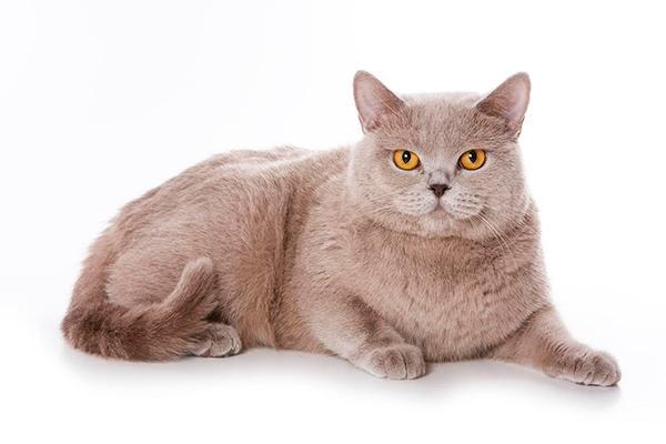 el viacutenculo afectivo entre personas y gatos se estrecha entre los espantildeoles